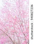 pink blossoms on the branch... | Shutterstock . vector #540827236