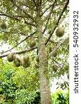 Small photo of Dur-ian trees