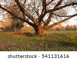 leafless tree at sunset | Shutterstock . vector #541131616