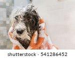 Wet Poodle Dog After The Bath...