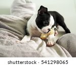Stock photo lovely cute boston terrier puppy girl with her snack bone under natural light 541298065