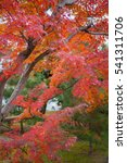 Small photo of Japanese maples, acer palmatum, turn color at fall in Kyoto, JAPAN