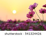 Cosmos Flowers Pink Background...