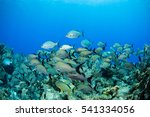Small photo of school of fish grunts and chubs on a coral reef in the caribbean