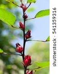 Small photo of fresh Roselle in organic farming thailand