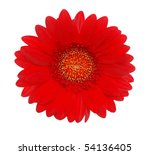 The Red Giant Gerbera Head