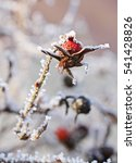 Small photo of close photo of frozen sear fruit of common medlar in winter
