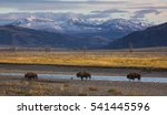 A Trio Of Bison Cross The Lama...