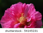 A Red  Hibiscus Isolated On...