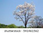 White flowering dogwood tree