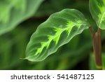 White Flower Calathea's Leaf...