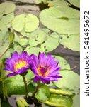 Illustrate Of Violet Lotus Or...