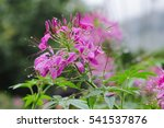 spider flower  cleome spinosa