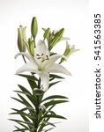 white lily flower used for... | Shutterstock . vector #541563385