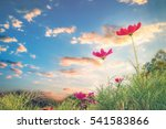pink cosmos flowers field and... | Shutterstock . vector #541583866