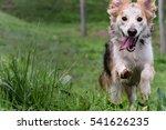 Stock photo dog running happily towards camera 541626235