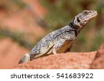 chuckwalla  | Shutterstock . vector #541683922