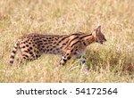 African Serval  Leptailurus...
