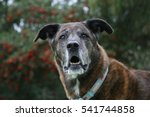 Brindle Shepherd With Red And...