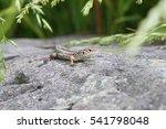 light brown lizard sitting on a ... | Shutterstock . vector #541798048