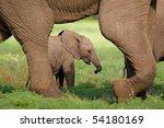 a small elephant calf walking...   Shutterstock . vector #54180169