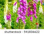 Blooming Vivid Wild Purple...