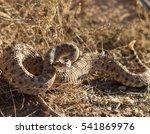 An Angry Rattlesnake Native To...