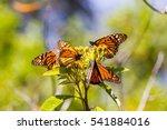 monarch butterflies perform... | Shutterstock . vector #541884016
