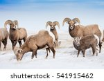 Bighorn Sheep Herd With Three...