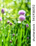 Small photo of blooming chives flowers and buds - Allium schoenoprasum