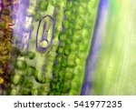 stoma  micrograph  leaf under a ... | Shutterstock . vector #541977235