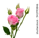 Stock photo beautiful pink rose flowers isolated on white background 541993846
