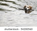 This is a Beagle Swimming - stock photo