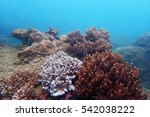 Small photo of Fine table Coral, Acropora cytherea
