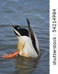 Mallard Duck Showing Its...