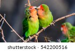 Two Loving Rosy Faced Lovebirds