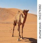 Camels In The Desert Dubai