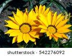 Bright Yellow Flowers Gazania