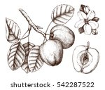 apple botanical illustration....