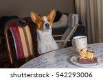 gorgeous basenji dog sitting at ... | Shutterstock . vector #542293006