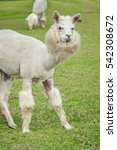 Small photo of The wonderful alpaca is in the farm that funny alpaca