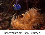 Clownfish Amphiprioninae And...
