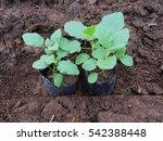 Seedlings Of Eggplant Is Ready...