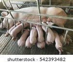group of little newborn piglets ... | Shutterstock . vector #542393482