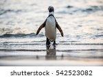 African Penguin  Spheniscus...