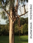 Small photo of eucalyptus tree
