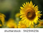 Sunflower Natural Background Sunflower Blooming - Fine Art prints