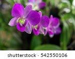 Flower   Orchid Vanda In My...