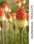 Red Hot Poker  Kniphofia