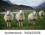 Sheep In Scotland  3